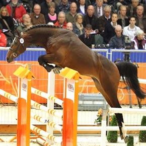 dutch warmblood horses