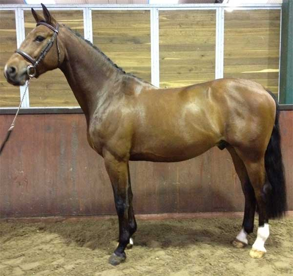 jumper horse for sale