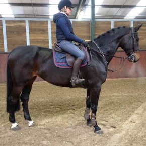 Sheraton, jumping horse for sale!