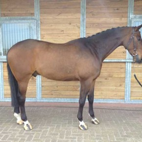 Easy KWPN horse for sale