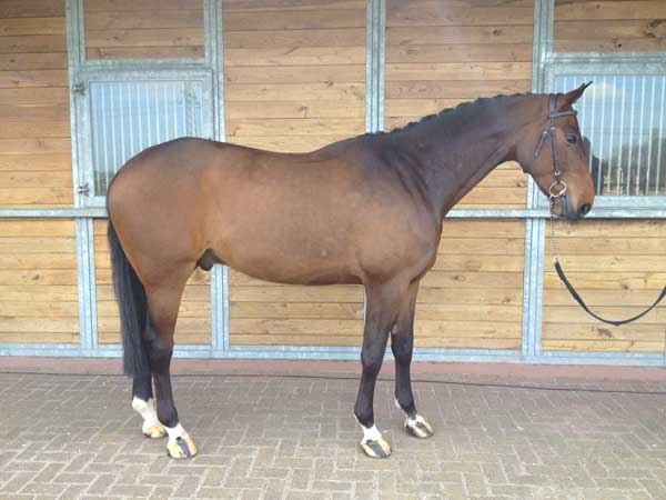 easy-kwpn-horse-for-sale