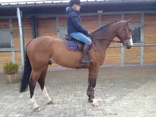 fine-amateur-horse-for-sale
