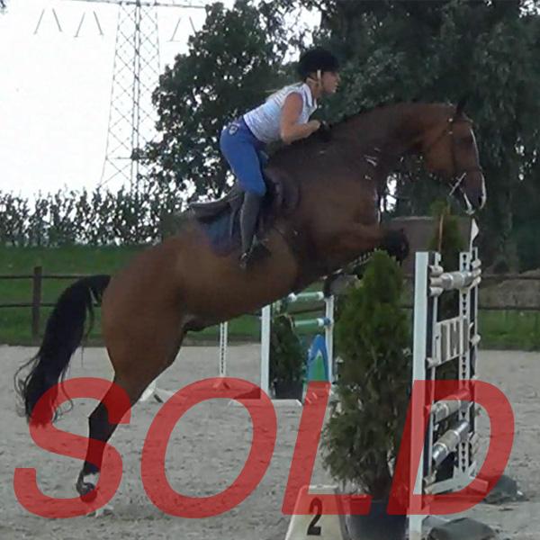 dutchsporthorses-allstar